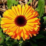 """Yellow Calendula"" by Kirby"