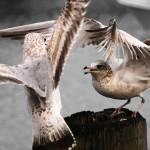 """Seagulls Battle"" by joseomediavilla"