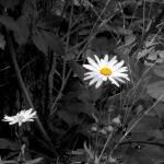 """""""Daisy"""" by PhotographyByRenee"""
