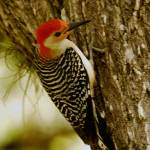"""Woodpecker Rests on Tree"" by SailGuy"
