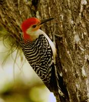 Woodpecker Rests on Tree