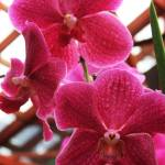 """Pink Orchid"" by ewolphoto"