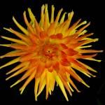 """Orange Yellow Dahlia"" by BuyArt"