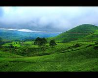 tea plantation area