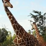 """Giraffe"" by rdwittle"