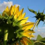 """sunflower backs"" by Zombie37"