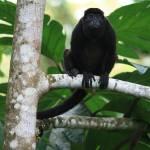 """Howler Monkey in Costa Rica Rain Forest"" by dariusw"