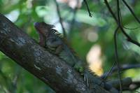 Green Iguana in Tree
