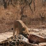 """Lion Eating Fresh Giraffe"" by dariusw"