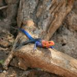 """Male Agama Lizard from Tanzania"" by dariusw"