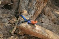 Male Agama Lizard from Tanzania