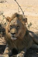 Male Lion in Shade