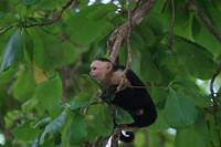 White Faced Monkey in Tree