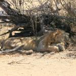 """Sleeping Lion"" by dariusw"