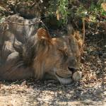 """Tanzania Lion Sleeping"" by dariusw"