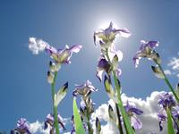 My Favourite flower, the Iris