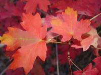 Red Maple Leaves in Autumn 1