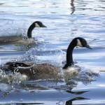 """""""graceful geese"""" by Romaen"""