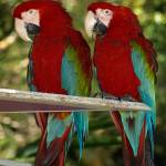 """Red Macaws"" by dawnanderson"