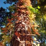 """Leaf Ladder"" by WVUARTIST"