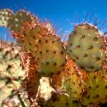 """Cactus in Big Bend"" by brandonjennings"