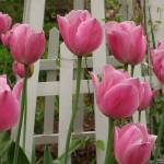 """Pretty Pink Tulips In Spring"" by FidelityPhotos"
