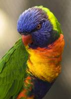 The Lorikeet That Posed