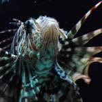 """Lion Fish"" by CharlesHarlan"
