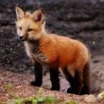 """""""Red Fox"""" by markmortensen"""