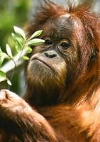 Baby Orangutan with a small branch