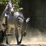 """""""frisky zebras"""" by ashapiro515"""