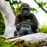 """little boy gorilla sitting on dad"