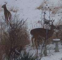 Winter's Deer