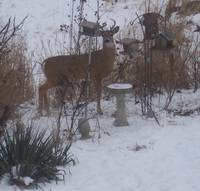 Back Yard Deer