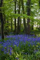 Katherines Bluebells