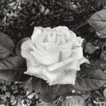 """""""rose"""" by toekne456"""
