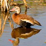 """Blackbelly Whistling Ducks #6"" by DAD"