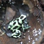 """Dendrobates auratus"" by projectgreenjungle"