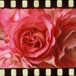 """Rose with Filmstrip Border"" by PhotographicsUnlimited"