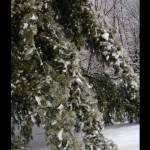 """winter pines"" by sherryswest"