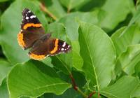 Red Admiral butterfly, on Monhegan Island