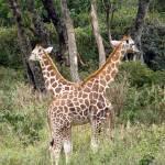 """""""Giraffes"""" by HJAD"""