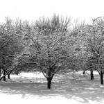"""Snow Trees"" by Lisajoy"