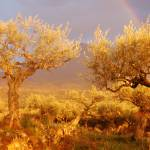 """olive grove rainbow port"" by lolaphotography"