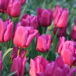 """""""Sunlight on Pink Tulips"""" by Groecar"""