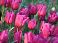 Sunlight on Pink Tulips