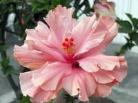 Double Pink Hibiscus 1