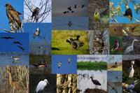 Birds of the Sacramento Valley Wildlife Refuges