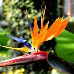 """Bird of Paradise"" by naturesvistas"