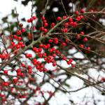 """Berries in the Snow"" by julieprovost"